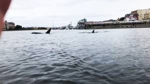 Killer whales spotted in Victoria's Inner Harbour