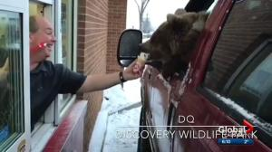 Zoocheck says video of bear eating ice cream in Alberta drive-thru sends 'wrong message'