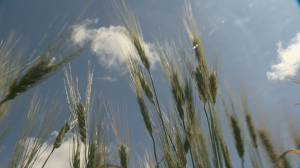 Farmers hope for favourable forecast leading into harvest
