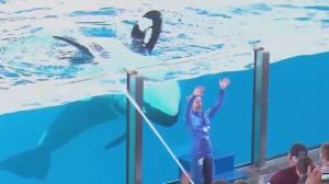 SeaWorld to end captive orca breeding program