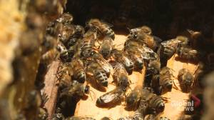 Buzz-worthy: Montreal entomologists warn of the dangers of raising urban bees