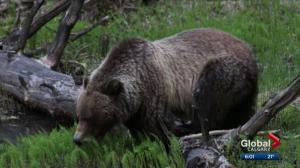 Bear 148 killed in B.C. by hunter