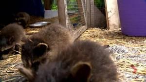 Saskatoon woman rehabbing 68 baby raccoons