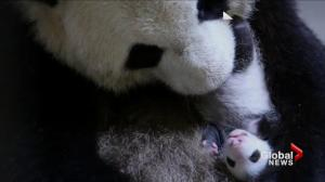 Giant pandas end stay in Toronto, transported by air to Calgary