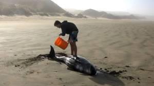 145 stranded pilot whales die on remote beach