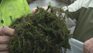 Richmond calls for provincial help with destructive invasive species