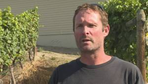 Naramata Bench winemakers optimistic wildfire smoke won't impact quality of grapes as harvest gets underway (01:51)