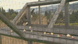 Starling Control Program works to manage invasive birds for Okanagan farmers