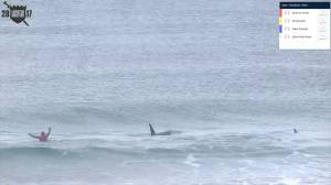 Surfers in Norway have close call with pod of orcas