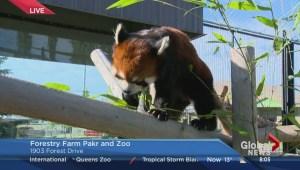 Red panda among endangered species at Saskatoon Zoo