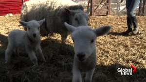 Calgary petting farm welcomes newborn animals just in time for spring: 'Just so beautiful!'