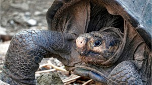 Tortoise believed to be extinct found on Galapagos islands