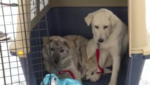 Puppies saved from Korean meat trade up for adoption in Calgary