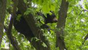 Play video: Bear trapped in a tree off St. Mary's Rd