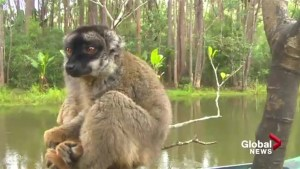 Mission Madagascar III: Calgary researcher fights to save endangered lemurs