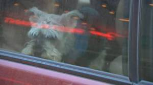 Global News reporter finds several dogs left in car during GTA's extreme cold alert