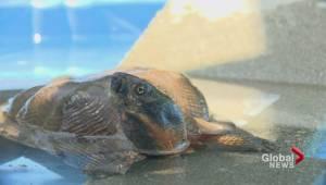 Rare endangered turtle found wandering through Burnaby