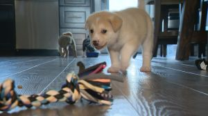Rescue group looking for puppy escorts from Regina to Vancouver Island