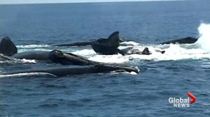 'A really bad year': Scientists gather at annual Right Whale conference in Halifax