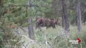 Video shows grizzly bear that survived being hit by car walking unharmed 3 days later