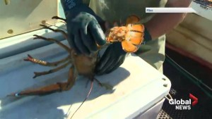Lobster fishermen frustrated as government closes parts of the Gulf