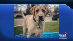 Alberta dog facility warns others about dangerous collars after dog's death