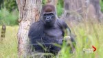 Video shows moment gorilla escapes at London Zoo
