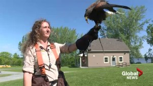 Vaudreuil relies on birds of prey to fix goose problem