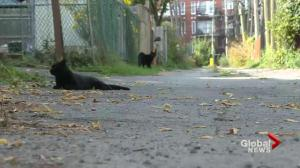 Rat poison killing pets in Verdun, Westmount