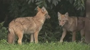 Coyote sightings on the rise in Saskatoon