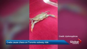 Crabs on the TTC called 'shell-fish' behaviour