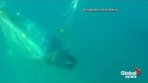 SeaWorld rescuers recount how they freed trapped whale calf from net off Australia's coast