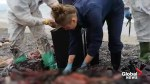 Young sperm whale found dead in Italy with plastic in its stomach