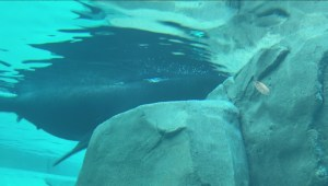 Blinded sea lion gets new lease on life
