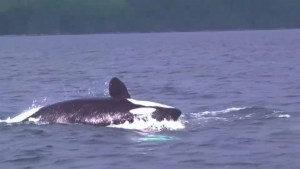 Study says PCBs are killing orcas