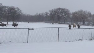 Assiniboine Park Zoo's bison enjoying the fresh snow