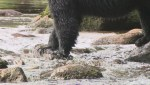 UVic research says bears need variety of salmon