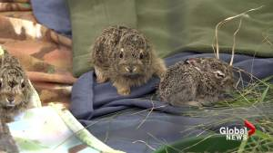 Spring baby boom for southern Alberta wildlife rescue centre