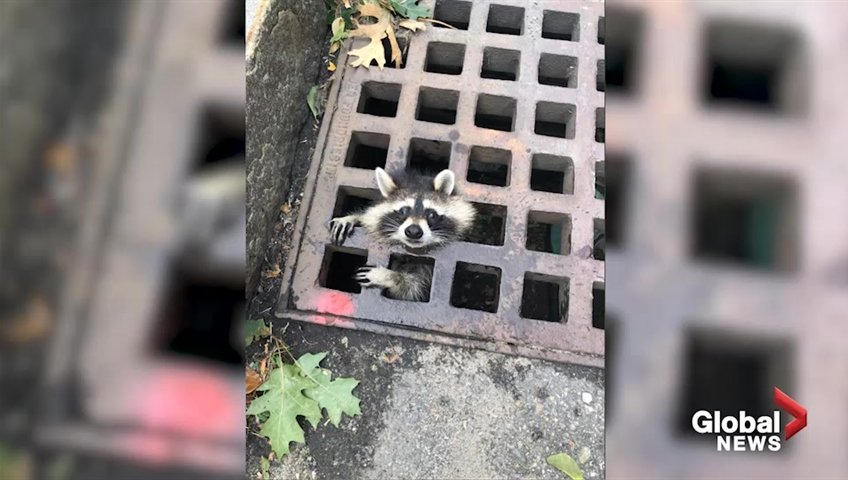 No 'Guardian of the Galaxy': Trapped raccoon goes viral