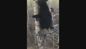 Alberta hunter keeps his cool as bear climbs tree beside him