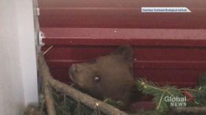Video of rescued Alberta bear cub