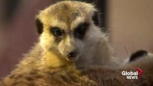 Meerkats move in at Saskatoon zoo