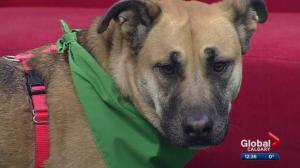 Calgary Humane Society Pet of the Week: Cora