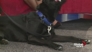 Adopt a Pet: Sable the Black Lab Cross