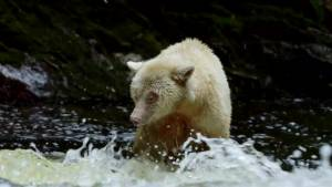 The story of Canada's Spirit Bear and its indigenous connection