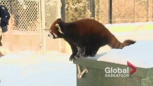 Red Panda at the Saskatoon Zoo
