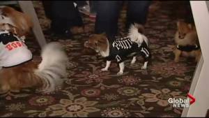 You're probably going to dress up your pet for Hallowe'en (00:52)