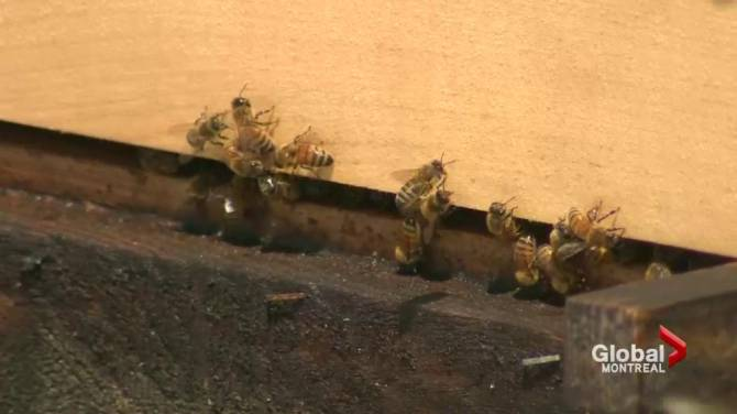 Pointe Claire Welcomes Beehives On Top Of Public Library