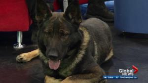 Edmonton hosting national police dog championship trials