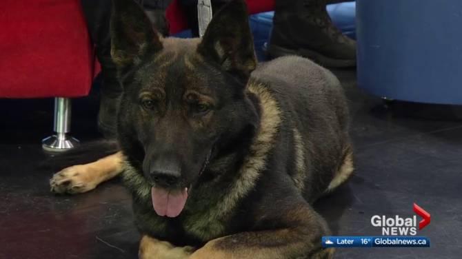 La policía de Edmonton canino gana el equipo de Top Dog en campeonatos nacionales - Globalnews.ca 1